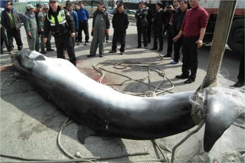 韓半島沖のミンククジラ(写真=木浦海洋警察署)