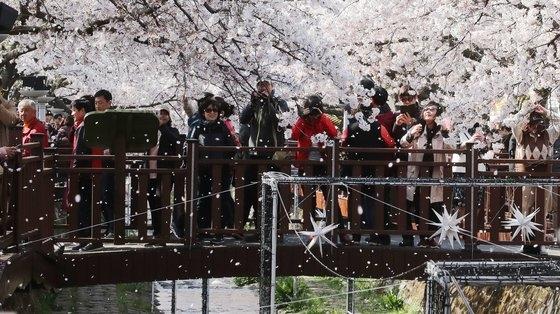 昨年、韓国南部の慶南鎮海軍港祭を一日前にした3月31日鎮海区余佐川(ヨジャチョン)の川辺に沿って満開した桜を見るために人々が寄り集まった。ソン・ポングン記者