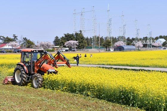三陟市が3日午後、新型コロナウイルスの感染拡大を防ぐため菜の花を処分した。[写真 三陟市]